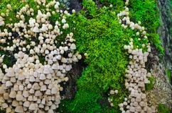 A lot of Coprinellus disseminatus on an old stump, covered with juicy cold green moss with a colorful sprouts. Close-up macro shot. Some blurred stump bark at Stock Image