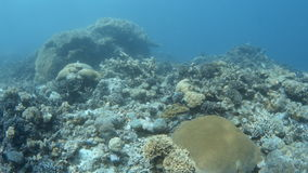 A lot of coral reefs under a blue water. A wide shot of coral reefs underwater. Shot pans to left to show few other corals stock footage