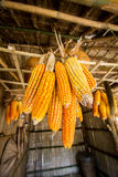A lot of corn hanging. On the ceiling in country side Royalty Free Stock Images