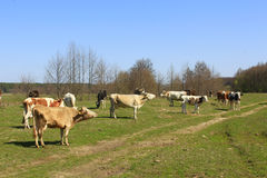 A lot of cows on the pasture Stock Images