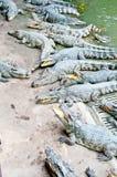 A lot of crocodiles Stock Photos