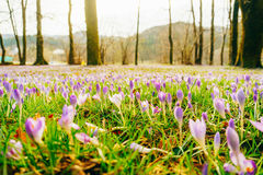 A lot of crocuses in the grass. A field of crocuses in green gra. Ss in the urban park of Cetinje, Montenegro stock photo