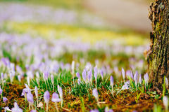 A lot of crocuses in the grass. A field of crocuses in green gra Royalty Free Stock Photography