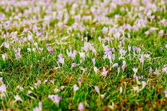 A lot of crocuses in the grass. A field of crocuses in green gra Stock Photography