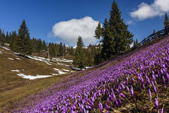 A lot of crocuses on a meadow in spring and patches of snow. A lot of crocuses on a meadow in spring, forest and patches of snow Royalty Free Stock Images