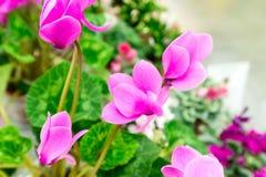 Lot of Cyclamen flower in shop Stock Image