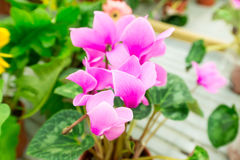 Lot of Cyclamen flower in shop Royalty Free Stock Image