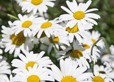 A lot of daisies in a green field, stock photos