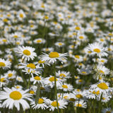 A lot of daisies in the meadow Royalty Free Stock Images