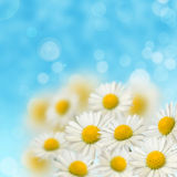 A lot of daisies Royalty Free Stock Image