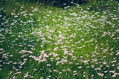 A lot of daisies on a summer meadow. Natural summer background stock photos