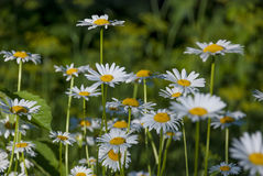 A lot of daisies Stock Photography