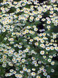 A lot of Daisy 1. Taken in foot of Uludag, Bursa, Turkey Royalty Free Stock Photos