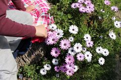 A lot of daisy flowers and a hand touchs them. A lot of pink and white beautiful daisy flowers and a hand touchs them stock images