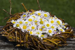 Lot of daisy stock photography