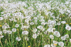 A lot of dandelions Royalty Free Stock Photography