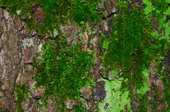 A lot of dark green moss and light green lichen on a brown bark of a tree texture. Close-up macro shot Royalty Free Stock Image