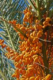 A lot of dates on date palm Royalty Free Stock Image