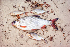 A lot of dead fish on the beach, lying on the sand. Water pollution concept. Stock Images