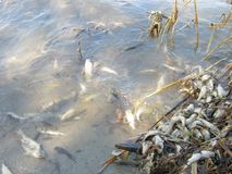 A lot of dead small fish. ecology, fish plague stock photos