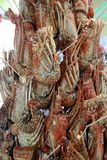 Grilled lobster in Cuba Stock Image