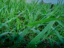 A lot of dew drops on the top of the green grass in the morning, there is orange sunshine, feeling fresh every time you look stock photo