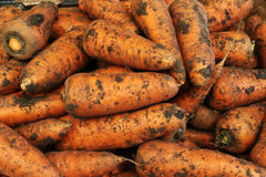 A lot of dirty carrots Stock Images
