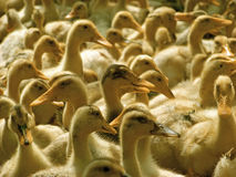A lot of domestic ducks Stock Image