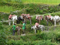 A lot of donkeys with gas bottles in the Annapurnas mountains Stock Photo