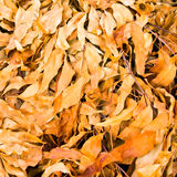 Lot of dry leaves lying on the ground Stock Images