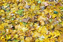 Dry maple leaves stock photography