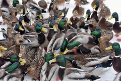 A lot of ducks. A lot of hungry ducks wintering Royalty Free Stock Image