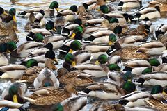 A lot of ducks on the pond. Ducks and drakes. royalty free stock images