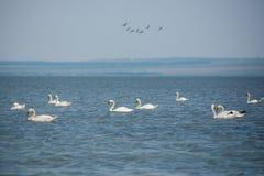 Lot dzicy biali łabędź Fotografia Royalty Free