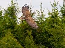 lot eagle Obraz Royalty Free