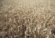 Lot ears of rye on rural field  close-up Stock Photography