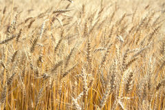 Lot ears of rye on rural field on summer day closeup Royalty Free Stock Image