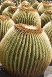 Lot of Echinocactus Grusonii or Golden Barrel Cactus. On broad daylight royalty free stock photo
