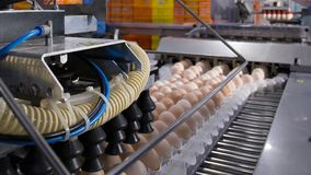 Lot of eggs on tray, Egg business & Layer process. Egg Factory Industry with high technology by unless worker with good quality on selection process royalty free stock image