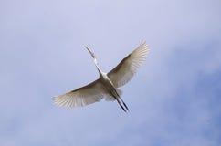 lot egret świetnie Zdjęcia Stock