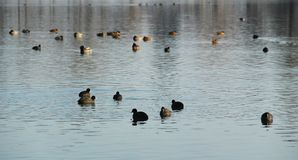 Flock of European coots and ducks Stock Photo