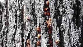Lot of firebugs sitting on tree bark. stock footage