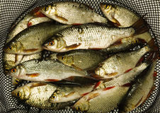 A lot of fish Royalty Free Stock Photography