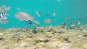 A lot of fish eagerly eat bread crumbs.  stock video