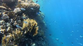 A lot of fish sergeant that swims in slow motion near coral reef. stock video footage
