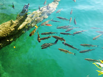 Lot of fishes in the lake Stock Photo