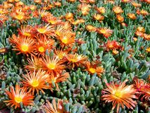 A lot of Flowers of a Succulent Plant Stock Image