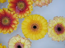 Lot of flowers swimming on water Stock Photography