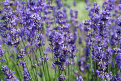 A lot of flowers of violet lavender blooming in garden Stock Photo