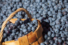 Lot of fresh blueberry with full bast basket Royalty Free Stock Images